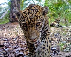 Wild jaguars & their cubs making their way into oil palm production areas in Colombia.