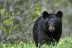 little Black Bear in Parc Forillon (Forillon National Park), Gaspé Peninsula, Quebec, Canada
