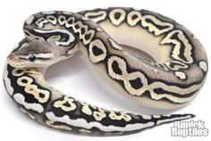 Desert Pewter Ball Python by Renick Reptiles