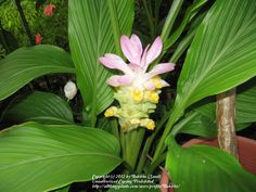 Grow your own Turmeric harvested from the yellow/orange rhizome of the Curcuma longa, approximately eight to ten months after planting it. Like any ginger, just give it water and fertilizer to flourish. It may surprise you and send up a pink bloom before leafing out.