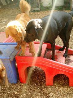 Clara and Tucker share a toy under a ray of sunshine:) #FunInTheSun #Friends #GoldenRetrievers #LabradorRetrievers #Sharing