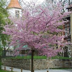 prunus subhirtella - Google Search