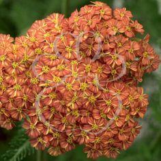 Common Yarrow 'Desert Eve Terracotta' (Achillea millefolium)