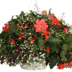 What you'll need Spiller Illumination® Orange Tuberous Begonia Begonia x tuberhybrida Qty: 1 Spiller Superbells® Plum Calibrachoa hybrid Qty: 2 Filler Laguna® White Lobelia erinus Qty: 2 Hanging Flowers, Hanging Plants, Tuberous Begonia, Orange Plant, Proven Winners, Container Flowers, Window Boxes, Salzburg, Hanging Baskets