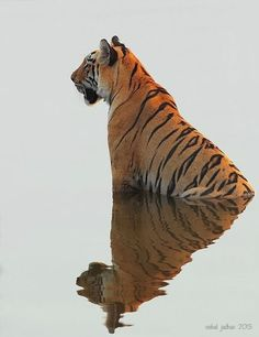 Tiger triangle reflection