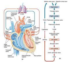 pulmonary blood flow | ... tricuspid valve into the rv through pulmonary valve to pulmonary