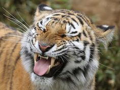 Amur Tiger. Photo by Steve Tracy Photography.  can't get taste of great white out of his mouth..