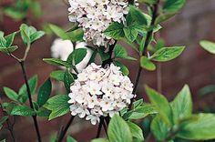 Top 10 Flowering Shrubs: Viburnum