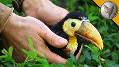 Coyote Peterson Feeds a Hungry Rescued Baby Toucan a Yummy Fruit Salad Using a Spoon