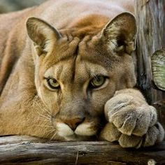 Mountain lion. A regular in my Wasatch Mountains. Beautiful. Staff Picks - Pixdaus