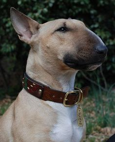 bull terrier, I  am so happy I have had this kind of dog. If you get the right breeder its a wonderful, wonderful dog!
