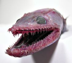 Found in tropical and subtropical waters around the world at depths of 400m at most. There are around 60 species all with the distinguishing feature of needle like teeth in their mouths and on their tongue, they grow up to 60 cm, prefer living on the sea bed and are often camouflaged to their environments. The deepsea lizardfish, Bathysaurus ferox, is a lizardfish of the family Bathysauridae, found in tropical and subtropical seas worldwide.