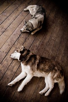 beautiful huskies.