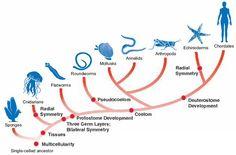 Animalia - cladogram. (simplified, but pretty)