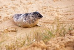 Horsey Seals on the Norfolk coast