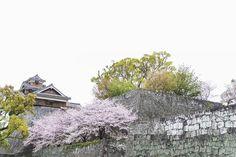 熊本城の石垣復旧にはひょっとすると20年を要するかもしれないという  地震の2週間前急に石垣と桜を観たいと思い立ち十数年ぶりに足を運んだ改めてその美しさに圧倒され息を飲んだ  幸運にもオリジナルの石垣を観れたのかと思ったら1889年の熊本地震で石垣の一部が崩落し改修された部分があるとのこと  生きている間にもう一度完全な状態での熊本城を見たいなぁ  #kumamotocastle #熊本城 by satolu