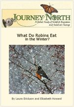 What Do Robins Eat in the Wintertime - slideshow