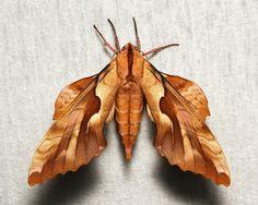Hawk Moth (Phyllosphingia dissimilis/perundulans, Sphingidae)