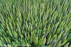 Boreal Forest. Ahhhhh.