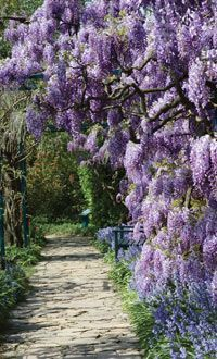 wisteria over path How to grow Wsteria, How to choose, where to plant, how to plant, and aftercare for wisteria; How to prune from year 1 to year three and subsequent years. Each step of the way is shown in picture diagrams.