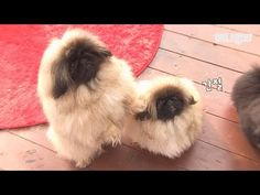 Pekingese puppies fighting as if they are trying to crash everything! Pekingese Puppies, Cute Animal Videos, Cute Animals, Dogs, Youtube, Pretty Animals, Cutest Animals, Doggies, Cute Funny Animals