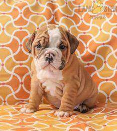 #EnglishBulldog #Charming #PinterestPuppies #PuppiesOfPinterest #Puppy #Puppies #Pups #Pup #Funloving #Sweet #PuppyLove #Cute #Cuddly #Adorable #ForTheLoveOfADog #MansBestFriend #Animals #Dog #Pet #Pets #ChildrenFriendly #PuppyandChildren #ChildandPuppy #LancasterPuppies www.LancasterPuppies.com Bulldog Puppies For Sale, English Bulldog Puppies, Lancaster Puppies, Animals Dog, Mans Best Friend, Say Hello, Snuggles, Puppy Love, Pets