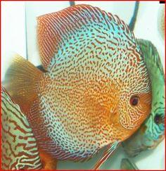 Oscar Fish Advice Forum :: Topic: Discus Strain Database (1/2)