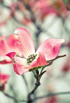 Dogwood bloom, so pretty. Pink Dogwood, Dogwood Flowers, Pink Flowers, Beautiful Flowers, Dogwood Trees, Bloom Where Youre Planted, Bokeh Photography, Watercolor Cards, Dream Garden