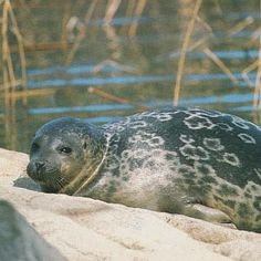 Saimaa Ringed Seal. Very endangered mammal, which lives only in one area in the world, Saimaa lake, Finland.