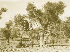 Ramallah-رام الله: RAMALLAH - Harvesting olives, early 20th c.