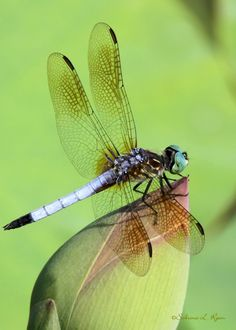 LįᏰεℓℓนᏝεᎦ (Blue Dasher Dragonfly Dancer by Sabrina Ryan)