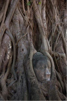 Wat Pra Mahathat's mysterious Buddha in a tree - Thailand. Photo by Mark Draisey http://www.flickr.com/photos/mdp007/5448693698/in/set-72157625931781295
