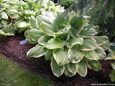 Hosta 'Fragrant Bouquet' - Hosta of the Year in 1998!