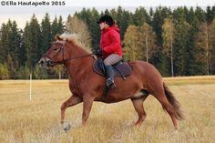 Finnhorse mare Santran Suvi