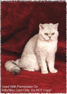 I'm getting one of these curly lovers one day!! Selkirk Rex Cat and Kitten Cat Breeders Website Listings at KittySites.Com