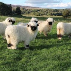 Fluffy Cows, Fluffy Animals, Animals And Pets, Baby Cows, Baby Farm Animals, Baby Sheep, Cute Cows, Cute Sheep, Tier Fotos