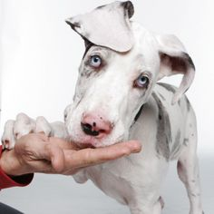 Great Dane - blue harlequin pup Young Ryan, 14 weeks old. What a beautiful, sweet baby.