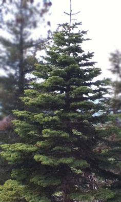red fir still growing he will have silver tips after the tree goes dormant gena silvertip christmas - Silvertip Fir Christmas Tree