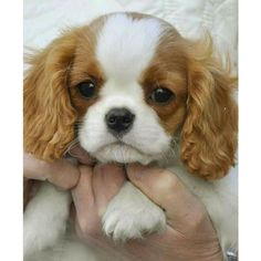 Cavalier Cavalier king Charles spaniel puppies ❤ liked on Polyvore featuring animals and dogs