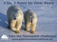 Thermostat Challenge Four Polar Bears International, Apex Predator, Bear Photos, Arctic, Mammals, Habitats, Challenges, Day, Churchill