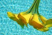 Gele calla lelies drijvend in een plas water