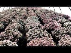 Best Shrubs - Andromeda Blue Ice (Bog Rosemary) - YouTube Rosemary Plant, Evergreen Shrubs, Yards, Ice, Gardening, Youtube, Plants, Lawn And Garden, Yard