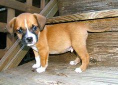 Ferrari at Proverbs Animal Rescue. Beagle/Boxer/mixed <3 <3 <3
