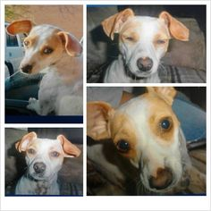 LOST - PETERSBURG, VA - Please help find Candy! 2 yr old female, Jack Russell/Chihuahua 8-10 lbs mix lost on 7/12/2013 at about 11:30am. If you see Candy or know of her possible whereabouts PLEASE contact her owner Tim Brown immediately day or night 804-835-8880. Candy is a jack russell mix, very fast, could be anywhere! Please help find her! Her family is worried sick! https://www.facebook.com/photo.php?fbid=10200268954023275=a.1623139575140.2081183.1136004530=1