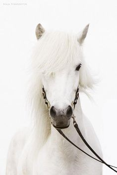 Elliot's horse Breya, one of the few pure white horses in the kingdom; white horses are extremely rare in the kingdom now, as most are speckled. Most Beautiful Animals, Beautiful Horses, Beautiful Creatures, Horse Pictures, Animal Pictures, Animals And Pets, Cute Animals, Icelandic Horse, Majestic Horse