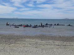 Mais de 20 baleias morrem encalhadas em praia mexicana (Foto: SEMAR/AP)
