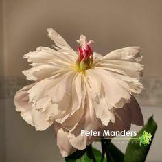 #pioenroos bij  Peter Manders bloemist in #Lemmer