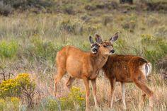 Mule Deer  Bryce Canyon National Park ,Utah