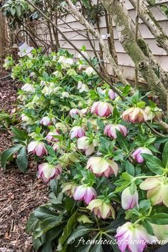 15 Stunning Perennials That Thrive in the Shade | This list of easy to grow shade perennials is perfect for ground covers under bushes or trees in your garden.