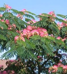 My Granny had one of these as a shade tree - a Mimosa tree - in her front yard. It made a huge mess, but it was my first pink and green crush  so festive and great fun to climb. Silk Tree